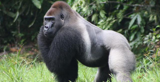 Safari Trip Ideas: CONGO: Tracking Gorillas in Odzala-Kokoua Nationalpark..