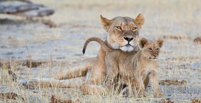Safari Special: 7 Nights Fly-In Safari: Botswana & Victoria Falls! Experience a luxury safari on a small budget!..