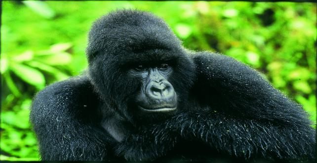 Safari Special: Special Offer for 2015: A Taste of Uganda (Gorilla Discovery)..
